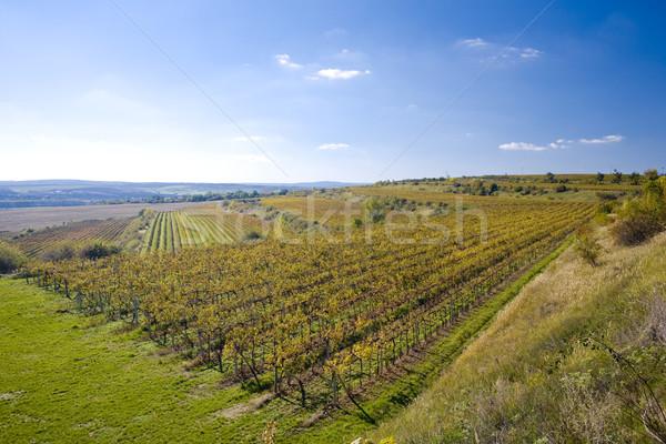 vineyards, ZD Sedlec, Czech Republic Stock photo © phbcz