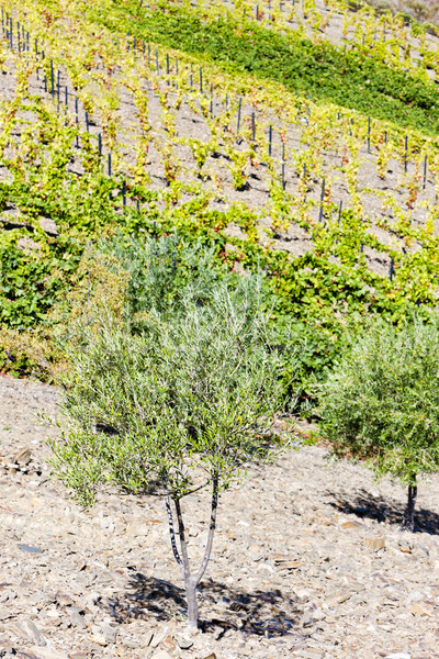 vineyard and olive trees, Douro Valley, Portugal Stock photo © phbcz