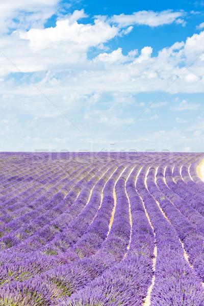 Campo de lavanda meseta Francia naturaleza planta lavanda Foto stock © phbcz