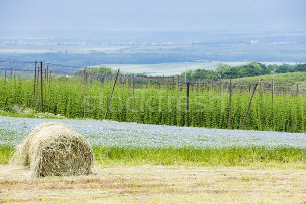 landscape with hops garden, Czech Republic Stock photo © phbcz
