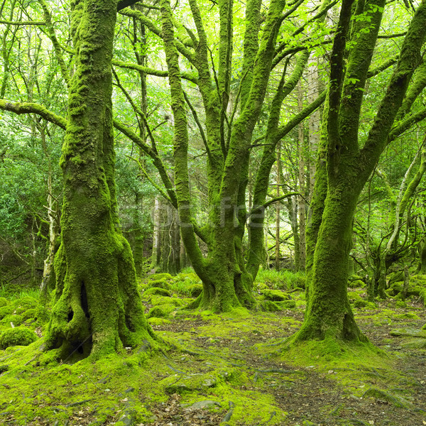 Forêt parc Irlande bois nature arbres Photo stock © phbcz