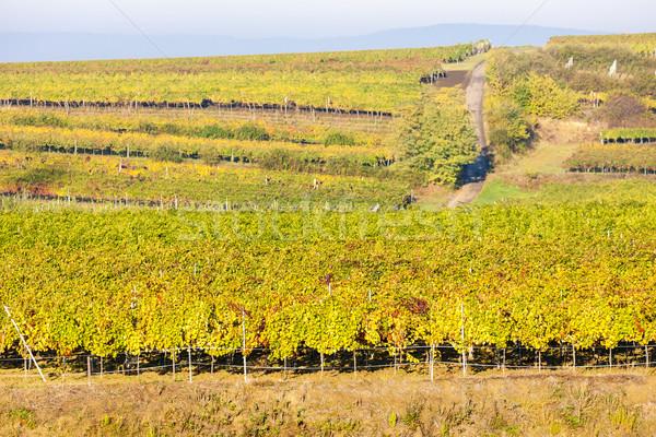 view of autumnal vineyards near Jetzelsdorf, Lower Austria, Aust Stock photo © phbcz