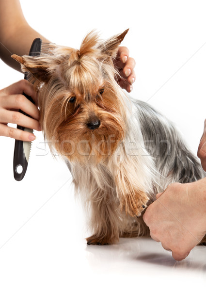 Grooming Yorkshire Terrier with a comb on white Stock photo © photobac