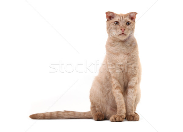 Short-haired cat over white background Stock photo © photobac