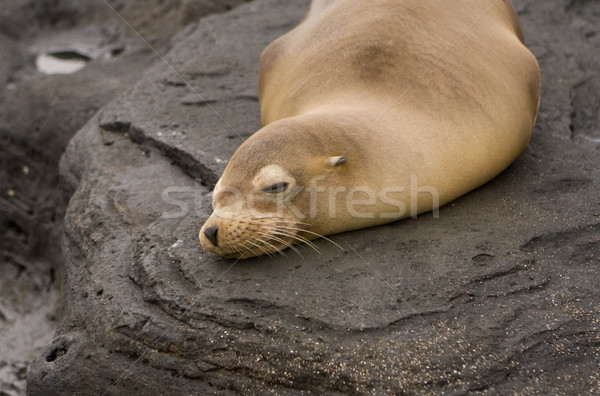 Sea lion on Galapagos Islands Stock photo © photoblueice