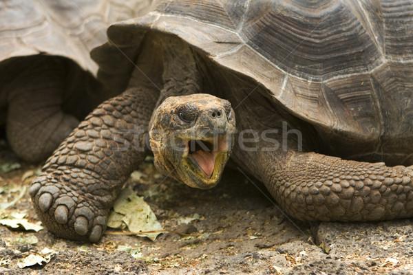 Giant Galapagos tortoise, Geochelone elephantopus Stock photo © photoblueice