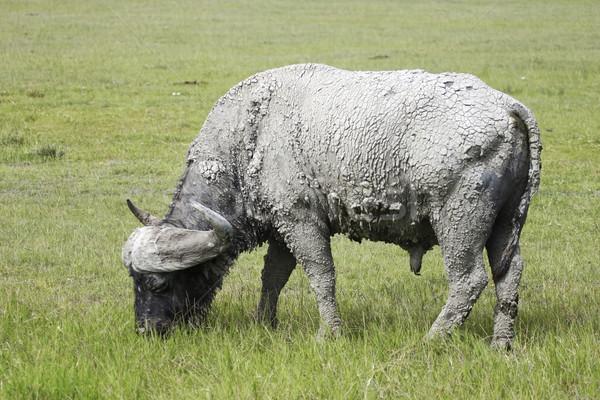Cape Buffalo Stock photo © photoblueice