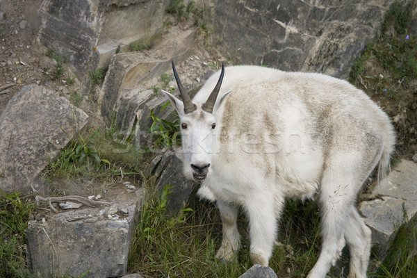 Close-up of Billy Mountain Goat on cliff edge of cliff Stock photo © photoblueice