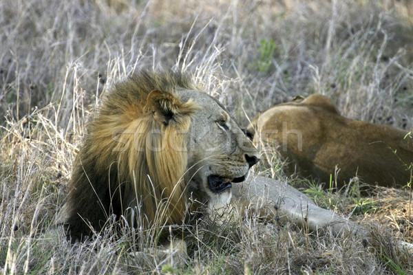Сток-фото: мужчины · лев · парка · Танзания · Африка