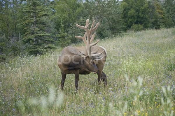 Elk scratching Stock photo © photoblueice