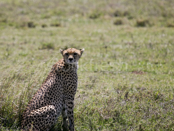 Cheetah missed her prey and needs rest after a hard run Stock photo © photoblueice