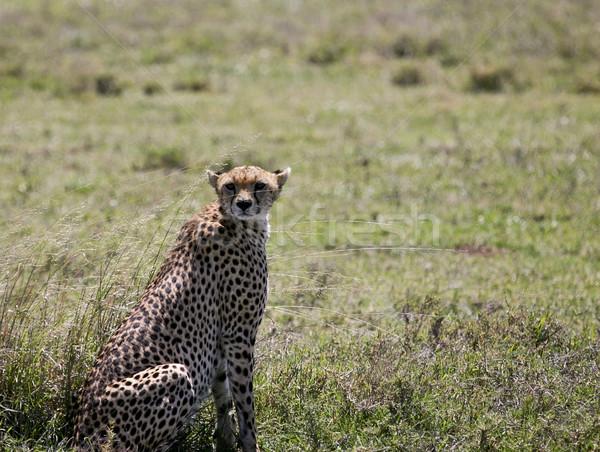 Cheetah buit lopen vrouwelijke is mislukt Stockfoto © photoblueice