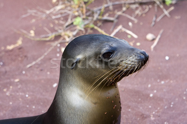 Sealion in the Galapagos Islands Stock photo © photoblueice