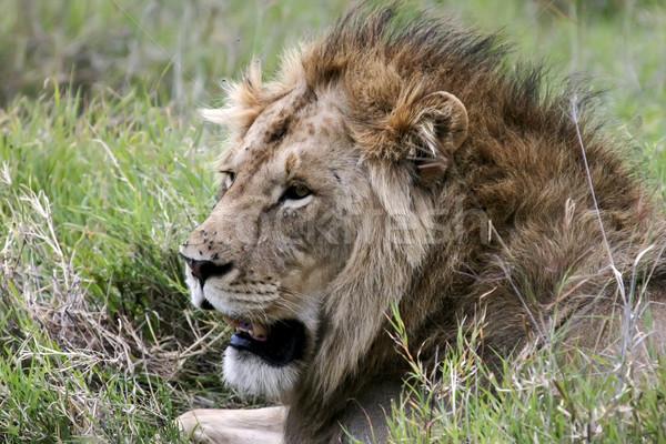 Oroszlán Serengeti oldal profil közelkép Stock fotó © photoblueice