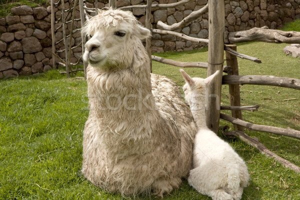Alpaca baby and mother Stock photo © photoblueice