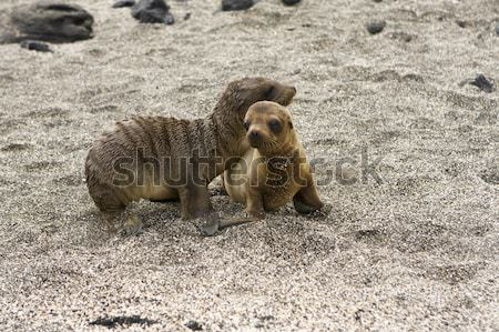 Sea lion pups playing in the shade on the Galapagos Islands Stock photo © photoblueice