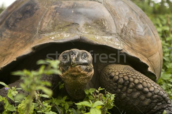 óriás teknősbéka Stock fotó © photoblueice