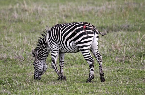 Zebra attacked by a lion Stock photo © photoblueice