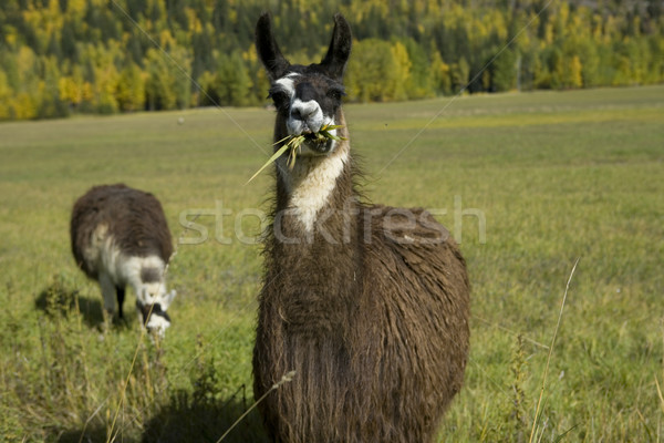 Two Llamas in a field Stock photo © photoblueice