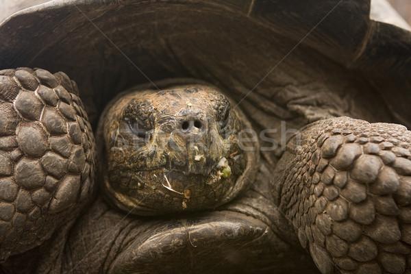Giant Galapagos Tortoise Stock photo © photoblueice