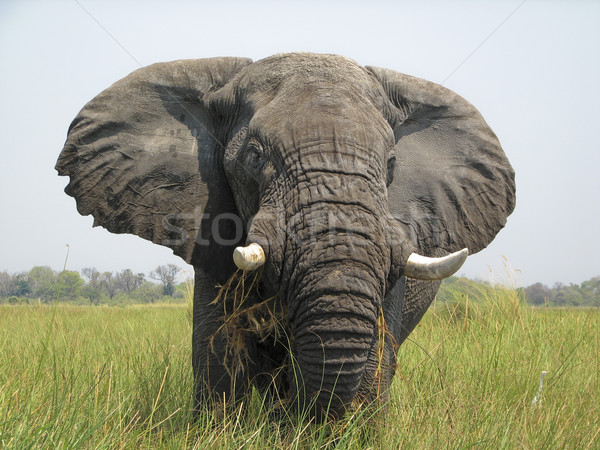 Delta olifant Stockfoto © photoblueice