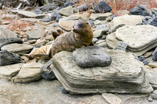 Sealion pups on the Galapagos Islands Stock photo © photoblueice