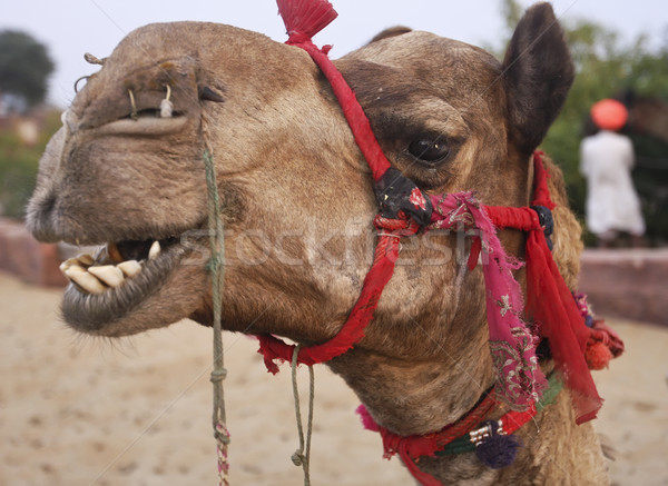 Camel in a desert oasis, India Stock photo © photoblueice