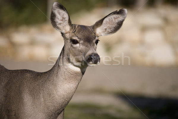 Deer close up Stock photo © photoblueice
