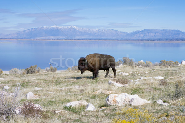 Buffalo in Antelope Island State Park Stock photo © photoblueice