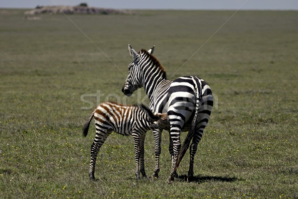Zebra mom and baby Stock photo © photoblueice