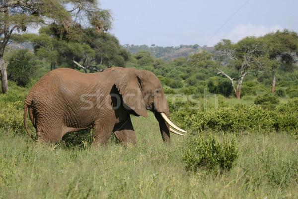 Elefante piedi parco Tanzania africa Foto d'archivio © photoblueice