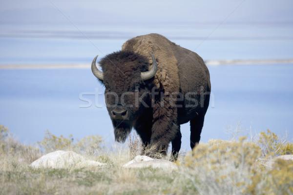 Buffalo in Antelope Island State Park Stock photo © photoblueice