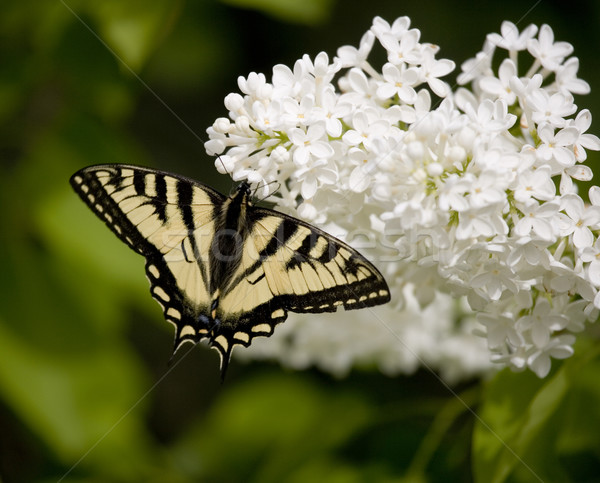 Swallowtail butterfly on Lilac Stock photo © photoblueice