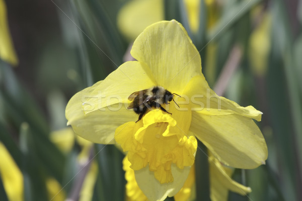 Bumble Bee pollinating flowers Stock photo © photoblueice