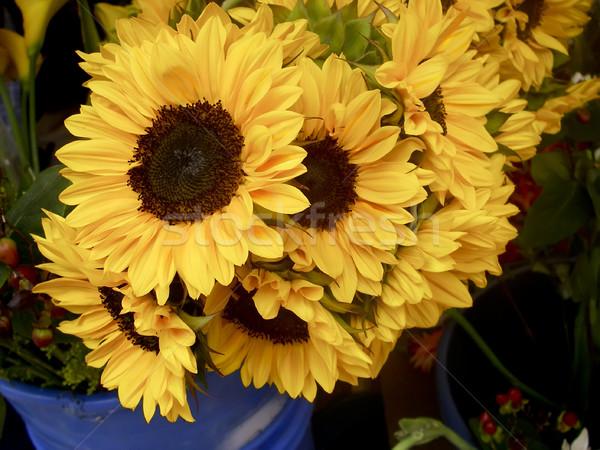 Sunflowers from Ecuador Stock photo © photoblueice