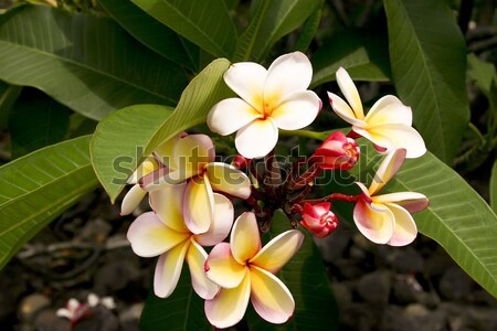 A beautiful flower found on the Big Island of Hawaii Stock photo © photoblueice