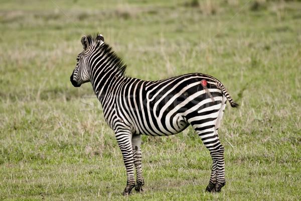 зебры лев Сток-фото © photoblueice