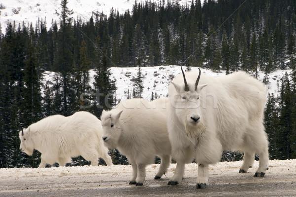 Mountain Goats Stock photo © photoblueice