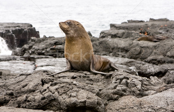 Fur Sea lion on the Galapagos Islands Stock photo © photoblueice
