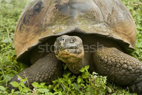 гигант черепаха Сток-фото © photoblueice