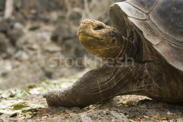 Gigante tartaruga Foto d'archivio © photoblueice