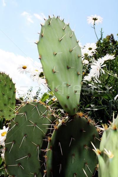 Green Cactus Stock photo © photochecker