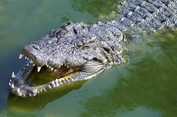 аллигатор охота Реки Африка глаза реке Сток-фото © photochecker