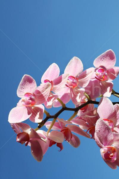 Orchideen Himmel Orchidee Wasser Blume Stock foto © photochecker