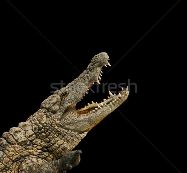 Crocodile on black background  Stock photo © photochecker