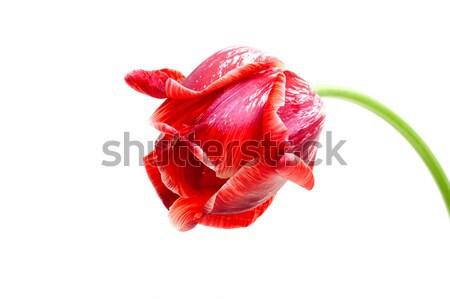 big red tulip isolated on white Stock photo © Photocrea