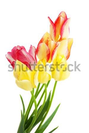 bouquet of tulips  isolated on white Stock photo © Photocrea