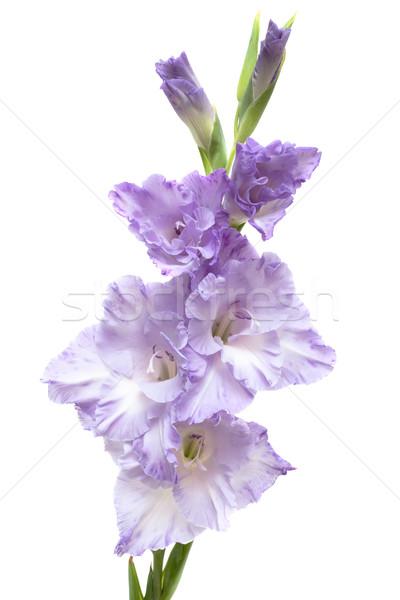 lilac gladiolus isolated on white Stock photo © Photocrea