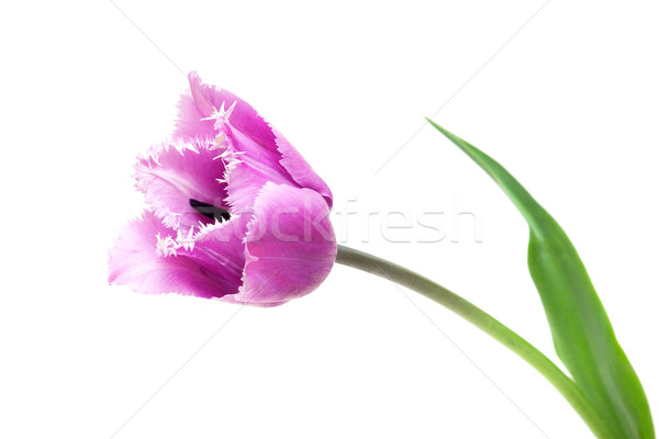 Fringed violet tulip Blue Heron  Stock photo © Photocrea