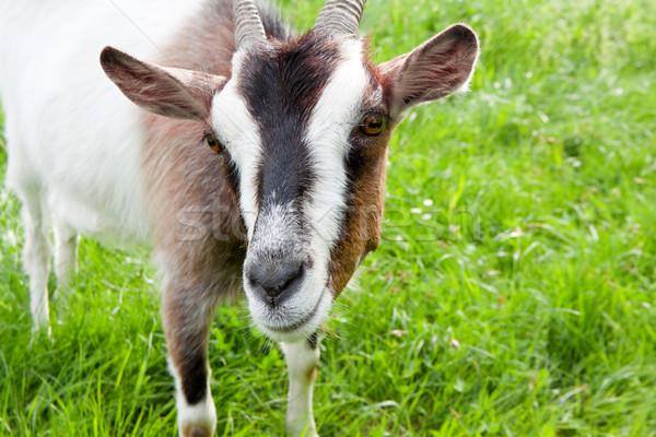 Goat on a green meadow Stock photo © Photocrea
